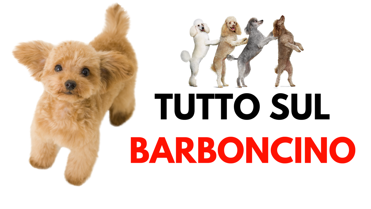 BARBONCINO