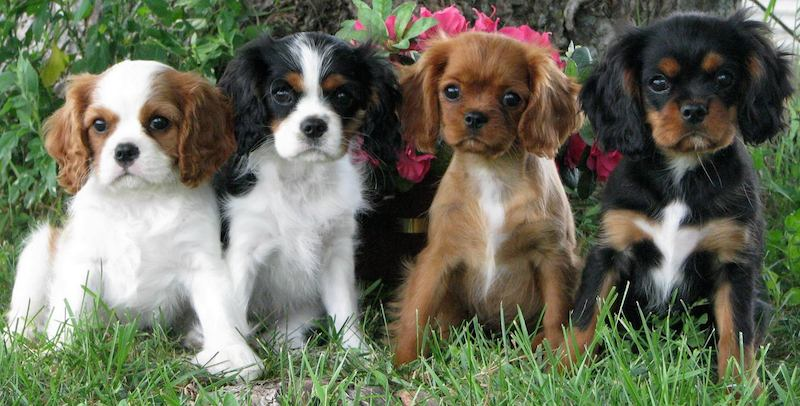 Cavalier-King-Charles-Spaniel caratteristiche